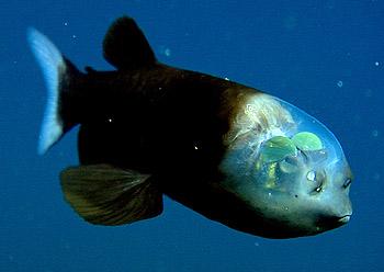 هذا خلق الله … سمكة ذات رأس شفاف