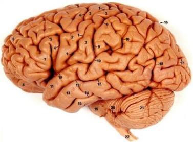 وفي أنفسكم أفلا تبصرون الدماغ