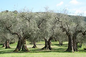 الإعجاز العلمي في شجرة الزيتون