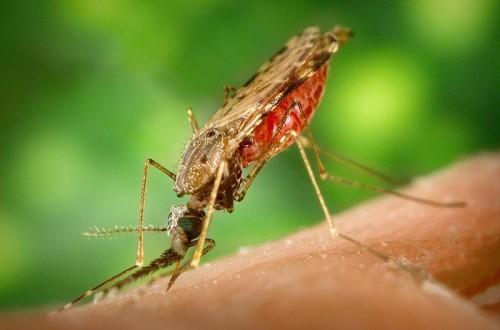 البعوضه 1273490746800px-anopheles_albimanus_mosquito