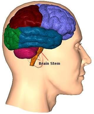 قافية الرأس مركز النوم واليقظة ـ إعجاز علمي 127618233723546536.j