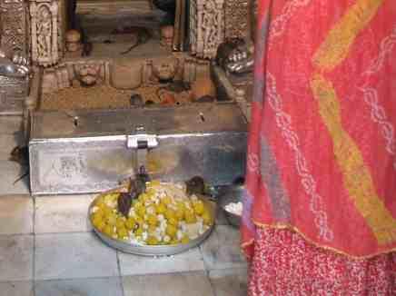وَمَن يُشْرِكْ بالله فَكَأَنَّمَا خَرَّ مِنَ السماء ـ عبادة الجرذان في الهند