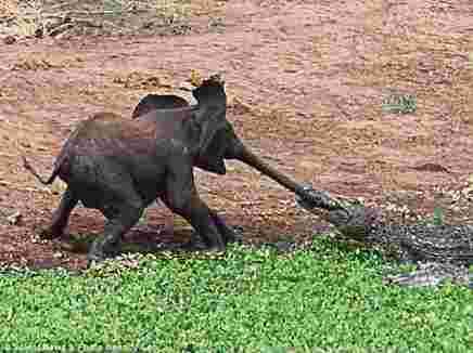 تمساح يمسك بخرطوم فيل صغير فيهب قطيع الفيلة لنجدته سبحان الله