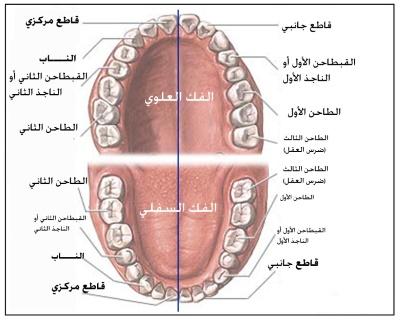 وفي أنفسكم أفلا تبصرون: الأسنان.