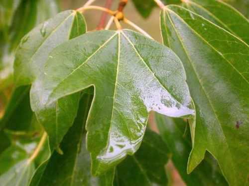 من دلائل القدرة الالهية في تكيفات  النبتات الارضية 800px-Acer_buergerianum_leaf.jpg