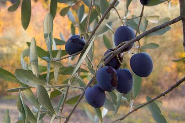 الزيتون المبارك … أكتشافات مذهلة