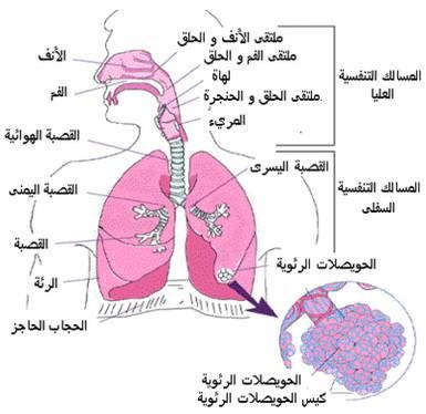 وفي أنفسـكم أفــلا تبصــرون ـ الجهاز التنفسي