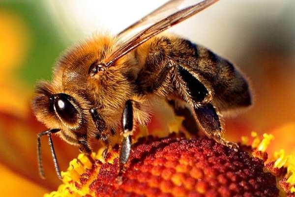 فاسلكي سبل ربك النحل 800px-Bee-apisا.jpg