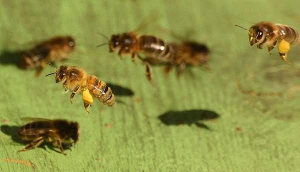 فاسلكي سبل ربك النحل 800px-Honeybee02.jpg