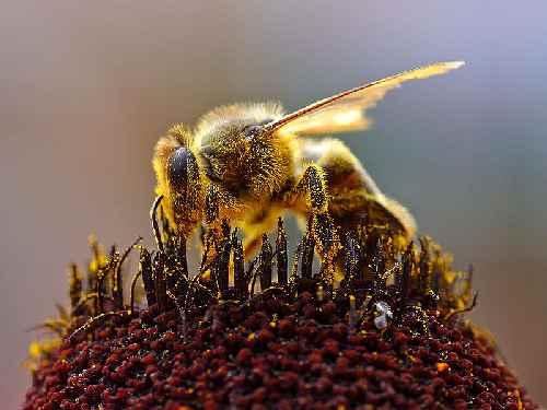 (إِلاَّ عَلَى اللّهِ رِزْقُهَا) حقيقة 800px-Bees_Collecting_Pollen_2004-08-14.jpg