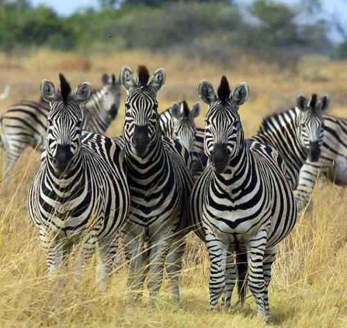 الاتحاد قوة ... حتى عند الحيوانات  633px-Zebra_Botswana_edit02