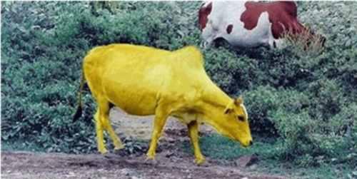قصة البقرة في مخطوطات أهل الكتاب المخفية