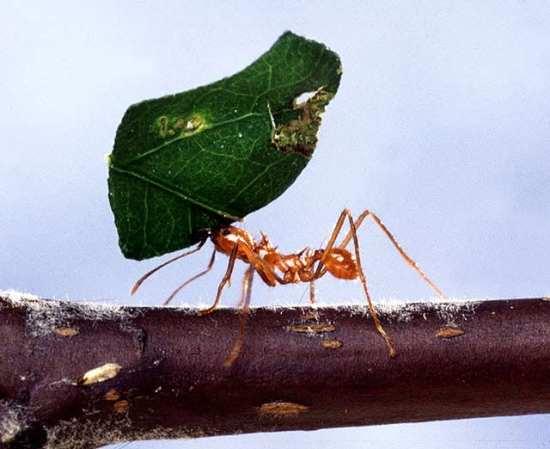 حكاية النملة Ameise_mit_Blatt.jpg