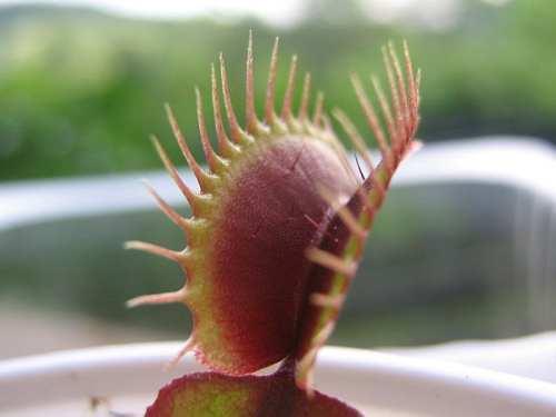 هذا نبات مفترس .. احترس !!!!!!!!!!!!!! 600px-Dion%C3%A9e_Red_Dragon