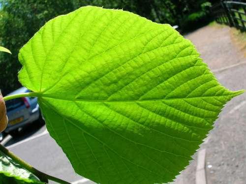 المعجزات الحيوية فى الأوراق النباتية  800px-Tilia_x_cordata_leaf_underside