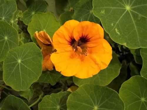 المعجزات الحيوية فى الأوراق النباتية  Nasturtium-Tropaeolum