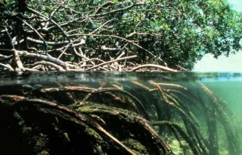 الآيات الربانية التركيب الداخلي للجذور Mangroves.jpg