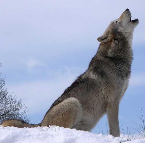 الكلاب، والذئاب: العلم يؤكد تسخير الله تعالي للأولى 607px-Howlsnow