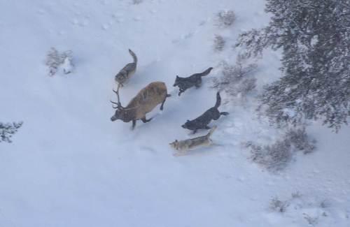 الكلاب، والذئاب: العلم يؤكد تسخير الله تعالي للأولى 800px-Wolves_and_elk