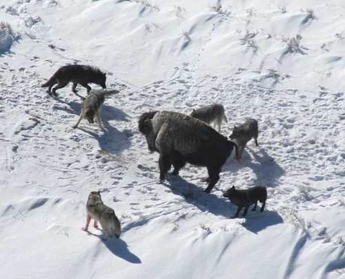 الكلاب، والذئاب: العلم يؤكد تسخير الله تعالي للأولى Canis_lupus_pack_surrounding_Bison